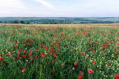 Beautiful landscape with poppy flowers filed Stock Image