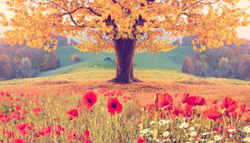 Beautiful landscape with poppy flowers and single tree with yell Royalty Free Stock Photography