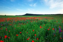 Beautiful Landscape with poppy meadow. Royalty Free Stock Images