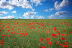 Beautiful Landscape with poppy meadow. Royalty Free Stock Photo