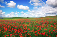 Beautiful Landscape with poppy meadow. Royalty Free Stock Image