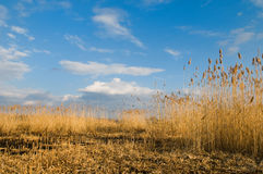 Beautiful landscape with reeds Royalty Free Stock Photo