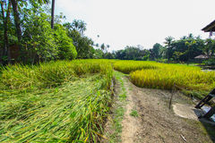 The beautiful landscape of rice fields Stock Photography