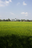 The beautiful landscape of rice fields Royalty Free Stock Photos