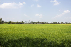 The beautiful landscape of rice fields Stock Image