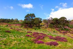 Beautiful landscape scenery hills slope covered by violet heather flowers royalty free stock photography