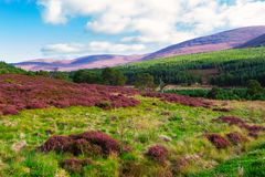 Beautiful landscape scenery hills slope covered by violet heather flowers stock image