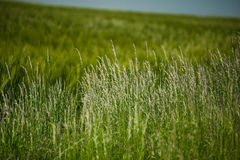 Beautiful landscape with the sky and green field of wheat Royalty Free Stock Image