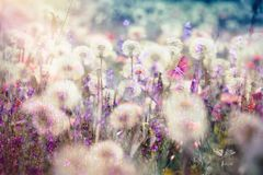 Beautiful landscape in spring - dandelion seed, fluffy blow ball. And meadow flowers Stock Image