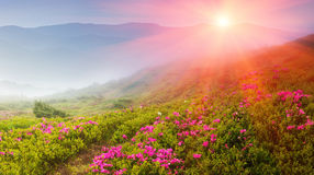 Beautiful landscape in the spring mountains. View of  smoky hills, covered with blossom rododendrons. Royalty Free Stock Images