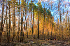 Beautiful Landscape. Spring Time Forest At Sunset Royalty Free Stock Photo
