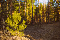 Beautiful Landscape. Spring Time Forest At Sunset Royalty Free Stock Photography