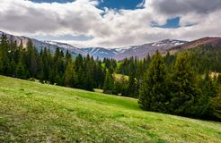 Beautiful landscape with spruce forest. Landscape of Borzhava mountain ridge in springtime. snowy mountain tops in the distance under the cloudy sky royalty free stock photo