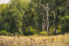 Beautiful  landscape - summer birchwood Stock Image
