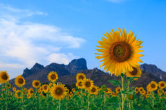 Beautiful landscape with sunflower field.  Stock Photography