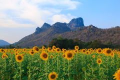 Beautiful landscape with sunflower field.  Stock Photo