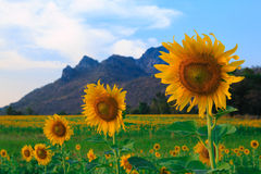 Beautiful landscape with sunflower field.  Royalty Free Stock Images