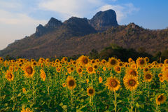 Beautiful landscape with sunflower field. Field of blooming sunflowers on blue sky background Royalty Free Stock Images