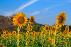 Beautiful landscape with sunflower field. Field of blooming sunflowers on blue sky background Stock Image
