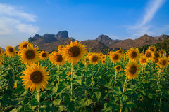 Beautiful landscape with sunflower field. Field of blooming sunflowers on blue sky background Stock Photo