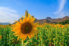 Beautiful landscape with sunflower field. Field of blooming sunflowers on blue sky background Royalty Free Stock Photos