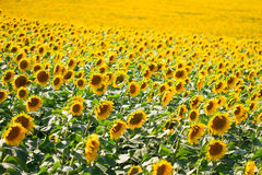 Beautiful landscape with sunflower field Royalty Free Stock Photography