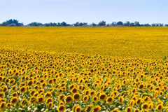 Beautiful Landscape Of Blooming Sunflower Field Stock