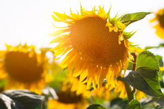 Beautiful landscape with sunflower field Stock Photo