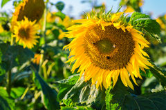 Beautiful landscape with sunflower field Stock Photo