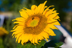 Beautiful landscape with sunflower field Stock Photography