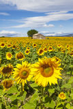 Beautiful landscape with sunflower Stock Images