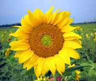 Beautiful landscape with sunflower field Royalty Free Stock Image