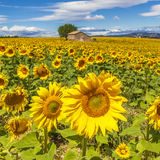 Beautiful landscape with sunflower field Royalty Free Stock Photos