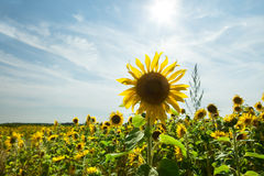 Beautiful landscape with sunflower Stock Photography