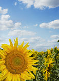 Beautiful landscape with sunflower field under cloudy blue sky Royalty Free Stock Images