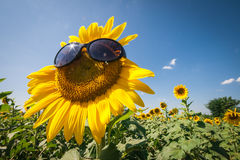Beautiful landscape of sunflower with sunglass Royalty Free Stock Images