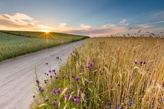 Beautiful landscape of sunset over corn field at summer Stock Photography