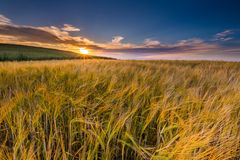 Beautiful landscape of sunset over corn field at summer Royalty Free Stock Images