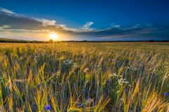 Beautiful landscape of sunset over corn field at summer Royalty Free Stock Photos