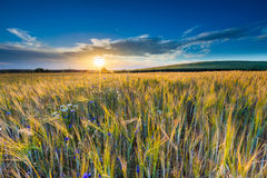 Beautiful landscape of sunset over corn field at summer Royalty Free Stock Photography