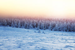 Beautiful landscape of sunset in winter forest. Majestic view on a fir trees covered with snow, misty pink sky light over high mountains, wintertime beauty in Stock Photo