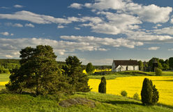 Beautiful landscape in Sweden. With rape field Stock Images