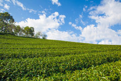 Beautiful landscape with Tea plantation Stock Photos