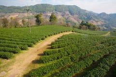 Beautiful landscape with Tea plantation Royalty Free Stock Photography