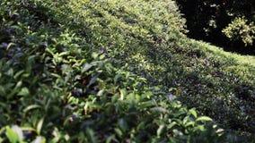 Beautiful landscape at tea plantation. stock video