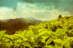 Beautiful landscape of tea plantations and mountain in India, Ke Royalty Free Stock Image