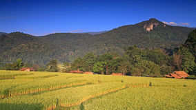 Beautiful landscape of terraced ripe rice field against blue sky Royalty Free Stock Photography