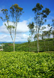 Beautiful landscape, tree, tea hill, Dalat travel Royalty Free Stock Photos