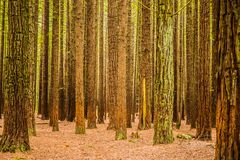 Trees in a red wood forest Stock Photo