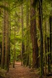 Trees in a red wood forest Stock Image